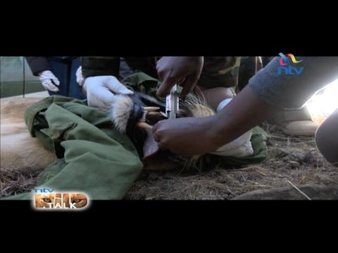"NTV Wild  Talk S4 E13: ""Collaring Lioness Nyala"""