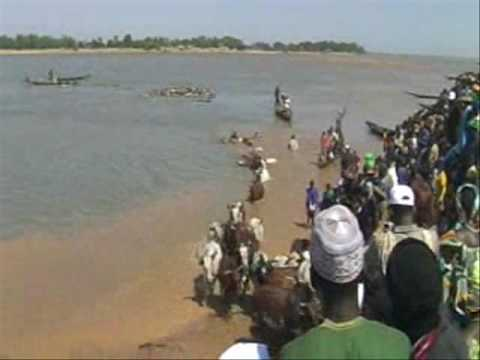 Cattle crossing the Niger River at Diafarabe, Mali