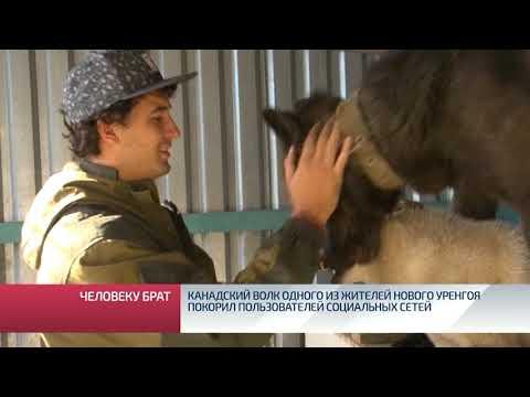 Канадский волк одного из жителей Нового Уренгоя покорил пользователей социальных сетей