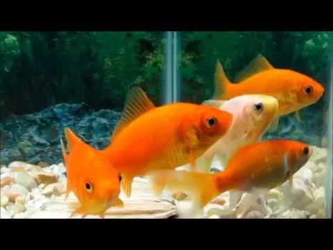 common goldfish youtube