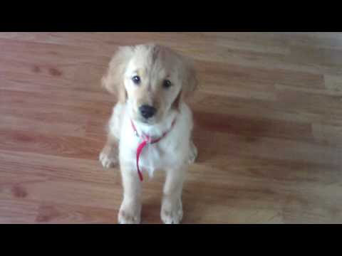 Golden Retriever 3 Months Old