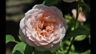 「河口湖オルゴールの森 ROSE GARDEN」 ラフマニノフ:パガニーニの主題による狂詩曲より第18変奏