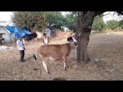 Cow Pregnancy Check in India's Village