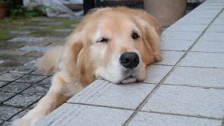 Hi,there! how are you? Do you know my golden retriever Alia? So cut...