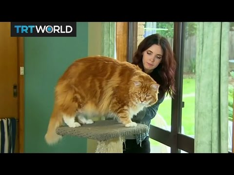 Australia's Fat Cat: Omar the Marine Coon, the world's longest cat?