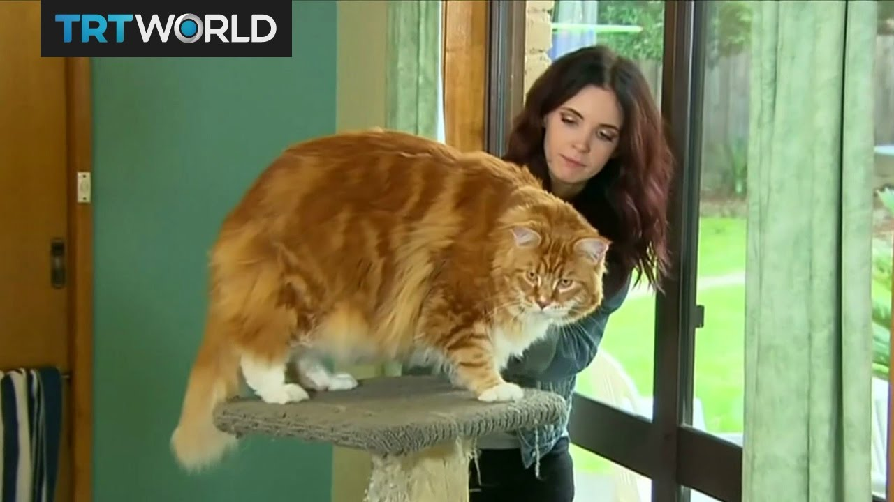 Oz S Omar In The Running To Be Crowned World Longest Cat