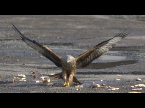 Red Kites in Slow Motion - The Slow Mo Guys