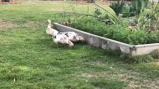 Ducks Making a Living in the Backyard
