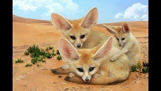 بعد اطلاق الثعلب الى ظل شجر الغاف البارد Fox and the wild tree
