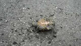 my turtle flips over Thumbnail