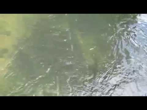 chalk stream trout river mimram fishing