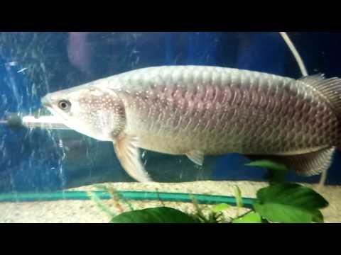 60cm saratoga fish very big fish!!