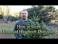 How to grow Emerald Heights® Distylium (Red Flowering Evergreen Shrub)