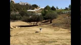 Saint Bernard Dog Training And Behavior Orange County Dog Trainer David Utter