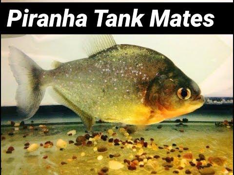 Piranha Tank Mates? Keep Fish with Piranhas