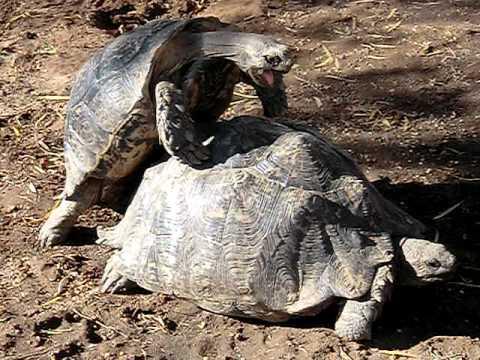 Schildkrötensex