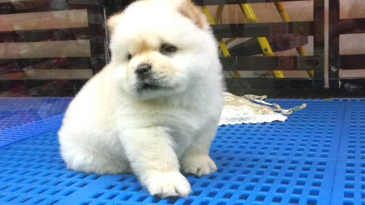 White baby chow chow - YouTube