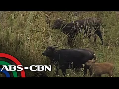 TV Patrol: Tamaraw Conservation Program, sinimulan sa Mindoro
