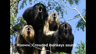 Download Mp3 Wooww  Crowded Monkeys Sound   Suara Monyet Siamang Ternyata Berisik