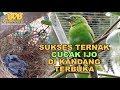 Sukses Ternak Cucak Ijo Di Kandang Terbuka  Mp3 - Mp4 Download