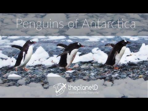 Penguins of Antarctica: Cuteness Alert