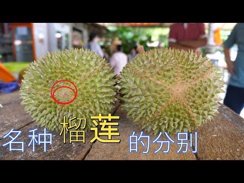 简单几招让你如何分辨和分别名种榴莲 D24 D88 D2 猫山王 D197  Malaysia Durian