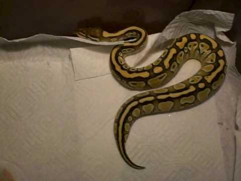 New Butter Ball Python!!