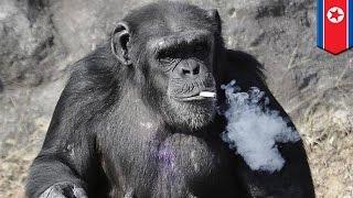 北韓老菸槍黑猩猩 成動物園明星