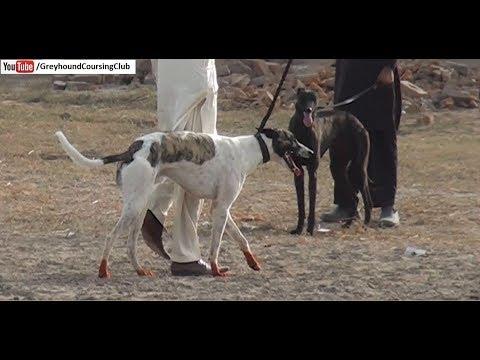 greyhound running | dog race in Pakistan | greyhound race 2018