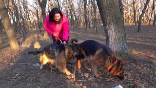 Прогулки в парке. Немецкие овчарки Райд и Симона. German Shepherd Dogs