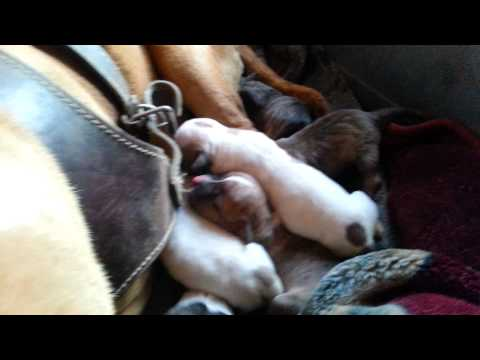 Red Nose & Fawn Blue Pit Bull Puppies
