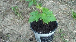 Размножение винограда зелеными черенками.2