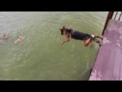 Harley the German Shepherd Diving off Dock - Dog Jumping off Dock