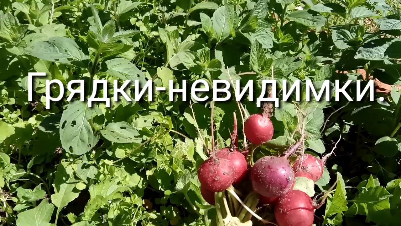 где выращивают редис