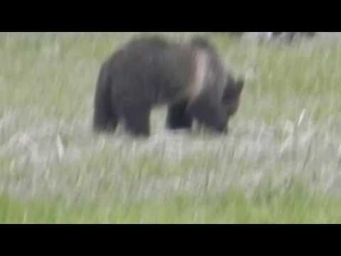 Yellowstone - BEAR SIGHTING - MOM AND CUB