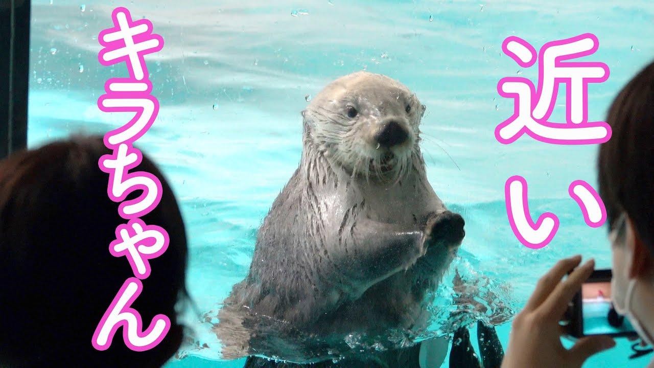 """【ラッコのメイちゃんとキラちゃん】可愛すぎる競演!Sea Otterr""""May and Kira"""" Toba Aquarium鳥羽水族館 2021.4"""