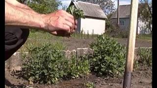 Смотреть видео хризантемы шаровидные перезимовали а что делать весной