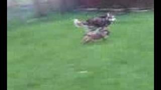 Border Terrier Chasing Husky