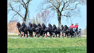 Anne Okkema drives 10 in hand Friesian horses!