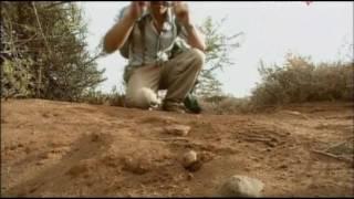 видео Австралопитеки (австралопитековые) (от лат