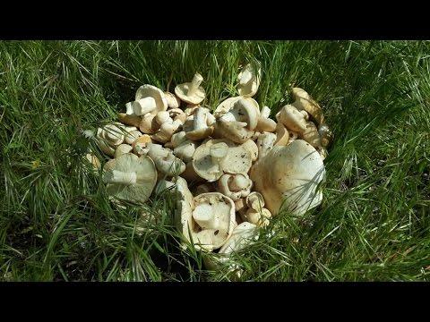 Майская рядовка (Calocybe gambosa) - съедобный весенний гриб