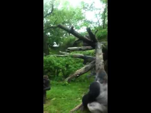 ape shitting and pissing n da bronx zoo