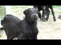 Goat Born With One Eye video