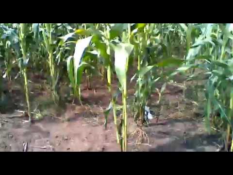 Maïs à 70 jours-TOGO