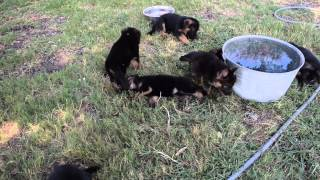 V Ramon And Rylie 2015 Litter - Von Der Otto German Shepherds