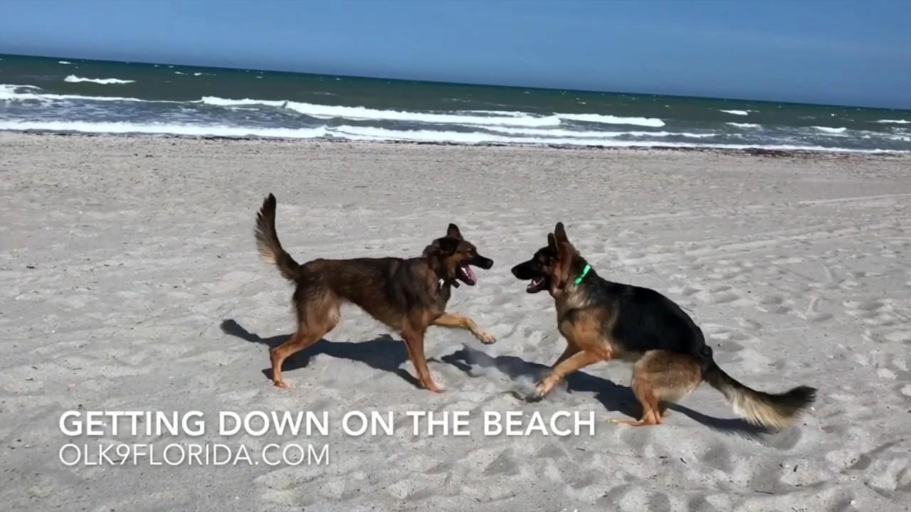1year Old German Shepherd Malinois Mix Zaza Melbourne Dog Trainers German Sherpherd Training