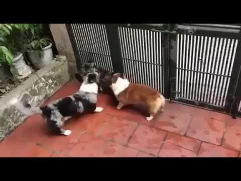 Chó Pembroke Welsh Corgi và Cardigan Welsh Corgi - YouTube