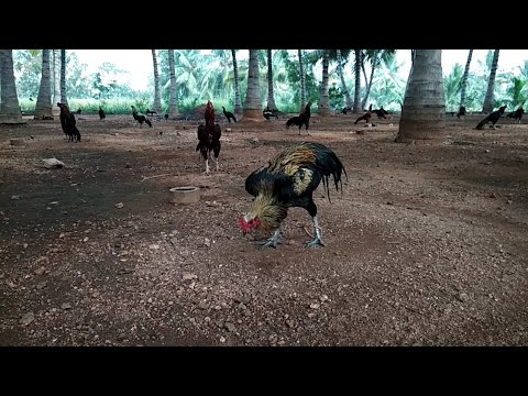 Sandai seval,2 video best fighting rooster..