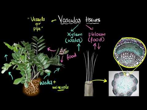 Intro to vascular tissues (xylem & phloem)   Life processes   Biology   Khan Academy