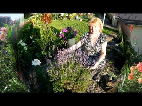 ЛАВАНДА - выращивание , уход, посадка, полив, размножение, цветение, особенности